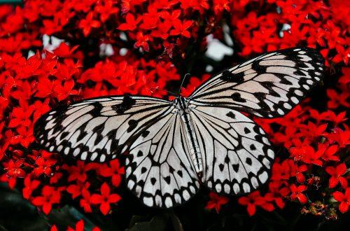 Schmetterling auf roten Blumen - Change ist wie zum Schmetterling erblühen